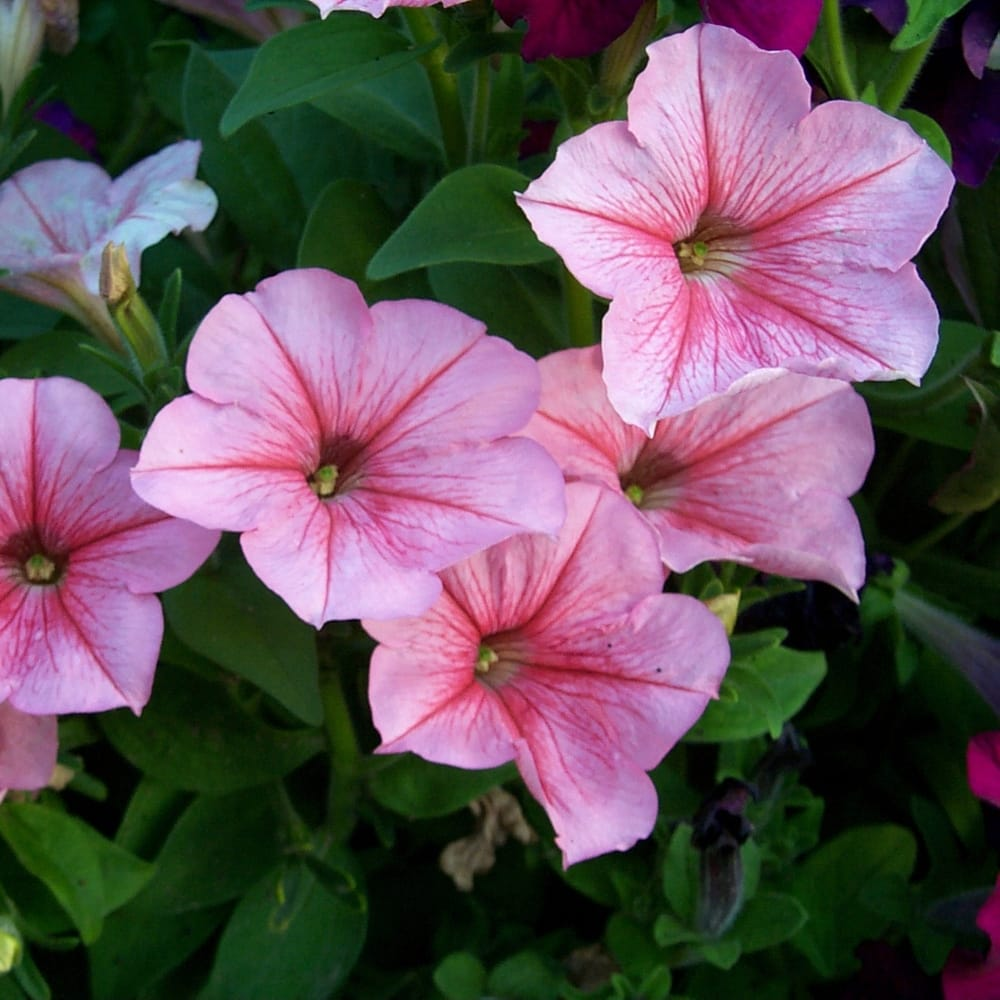 Розовые однолетние цветы фото и названия